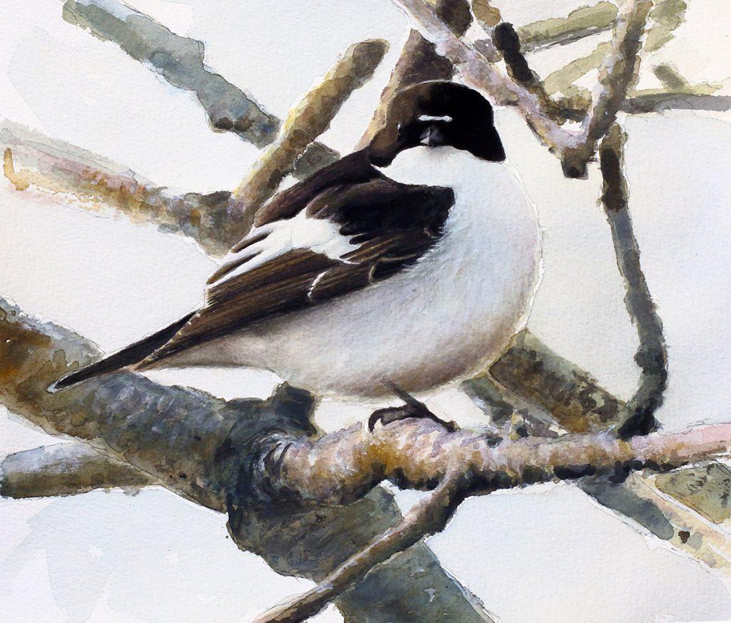 svartvit flugsnappare